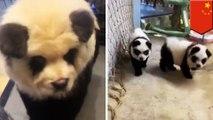 Kafe Panda di Cina ternyata bukan panda sungguhan! - TomoNews