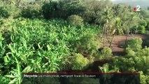 Mayotte : la mangrove, une forêt en danger