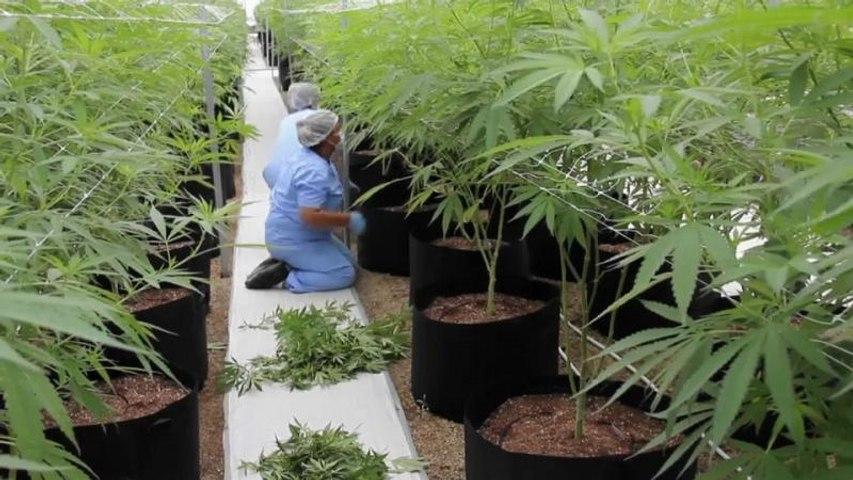 Francia probará el cannabis para uso terapéutico