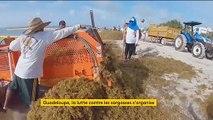 Guadeloupe : la lutte contre les sargasses s'organise