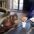 Hilarant : ce petit orang-outan éclate de rire - Il est impossible de ne pas sourire en voyant ce singe s'étouffer de rire lors d'un tour de magie.