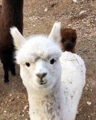 Ces lamas voient une caméra pour la toute première fois. Ah ces petits curieux !