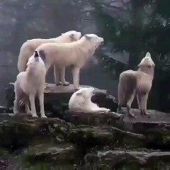 Une meute de chiens blancs hurlent à la mort. Magnifique son !