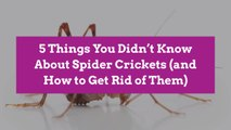 5 Things You Didn't Know About Spider Crickets (and How to Get Rid of Them)