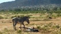 AMAZING!! King Buffalo Of God!!! King Buffalo Rescue Zebra From 10 Lion Cruel, Lion Vs Buffalo