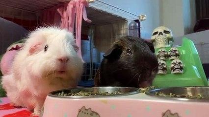Deux cochons d'inde mangent le même plat mais c'est leur façon de mâcher qui explose Internet