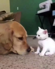 Quand un chaton tenace décide de faire la fête à un gros toutou