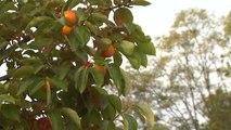 주황빛으로 물든 도심...감나무 가로수 / YTN