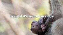 Une maman singe ne peut pas se séparer de son bébé mort-né