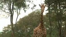 De la viande de girafe vendue comme du bœuf en Tanzanie et au Kenya