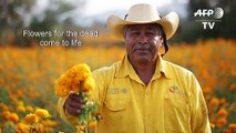 Farmers in Mexico pick cempasuchil flowers ahead of Day of the Dead