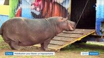 Cirque : Jumbo l'hippopotame retournera-t-il en Afrique ?