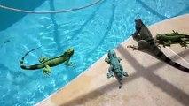 Hilarant : cet iguane adore se baigner dans la piscine