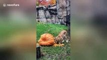 Lion celebrates Halloween with giant pumpkin