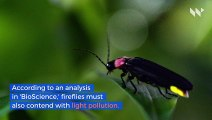 Light Pollution May Soon Cause Extinction of Fireflies, Study Says