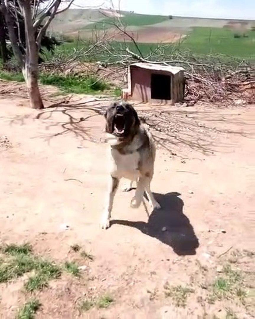 ADAMCI ALA COBAN KOPEGi - ANGRY ALA ANATOLiAN SHEPHERD DOG