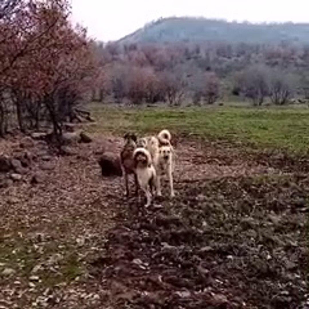 ANADOLU COBAN KOPEKLERi GUCLERiNi TARTIYOR - ANATOLiAN SHEPHERD DOGS
