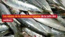 Les raisons de la diminution surprise de la taille des sardines