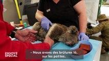 En Australie, un hôpital de campagne pour les koalas victimes des feux
