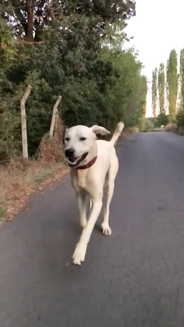 AKBAS COBAN KOPEGiNE AKSAMUSTU SPORU - AKBASH SHEPHERD DOG EXERCiSE