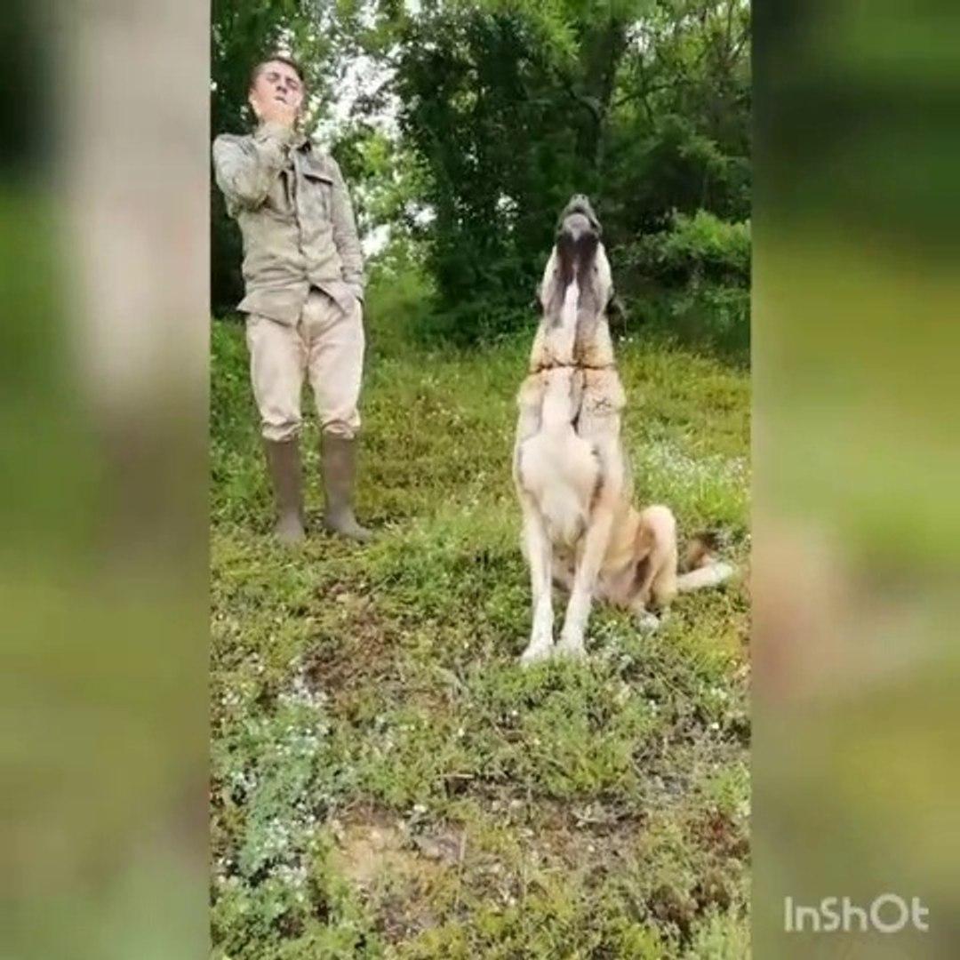 ANADOLU COBAN KOPEGiNi ULUTAN ADAM - ANATOLiAN SHEPHERD DOG HOWL