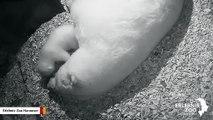 Internet Rallies Behind This Polar Bear Cub Learning To Walk