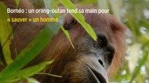 Bornéo : un orang-outan tend sa main pour « sauver » un homme