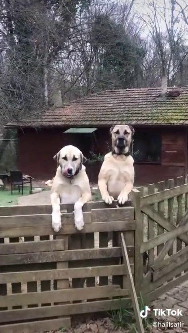 ANADOLU COBAN KOPEKLERi BAHCE NOBETi - ANATOLiAN SHEPHERD DOGS