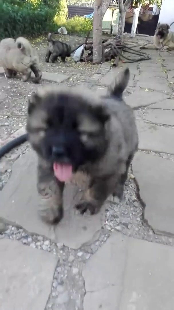 KAFKAS COBAN KOPEGi YAVRULARI - CUTE CAUCASiAN SHEPHERD DOG PUPPiES