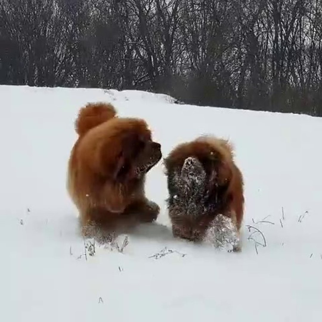 TiBET MASTiFi COBAN KOPEKLERi KAR HEYECANI - TiBETiAN MASTiFF SHEPHERD DOG GAME PLAY SNOW