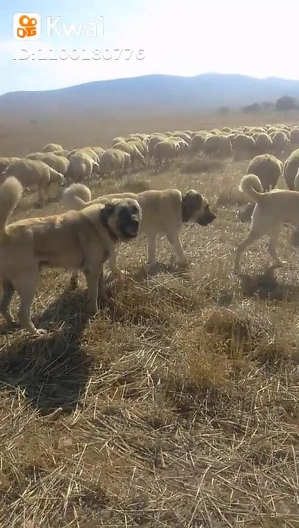 KANGAL ve COBAN KOPEKLERi GOREV SAATi - KANGAL DOG and SHEPHERD DOGS