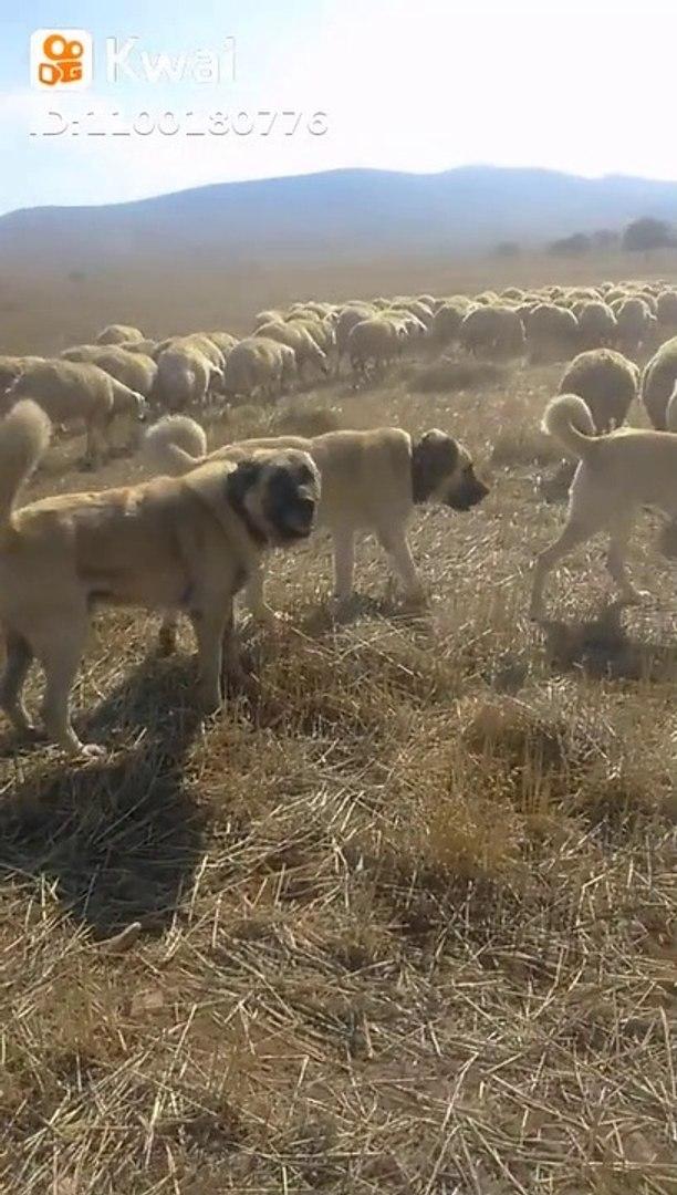 KANGAL ve COBAN KOPEKLERi GOREV SAATi - KANGAL DOG and SHEPHERD DOGS