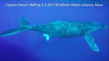 La mise bas d'une baleine à bosse partiellement filmée pour la 1ère fois