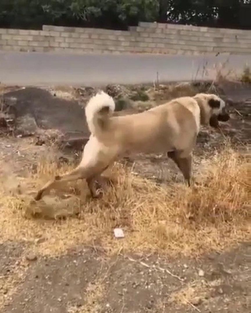 SiMiT KUYRUK 4*4 KANGAL KOPEGi - 4*4 KANGAL SHEPHERD DOG