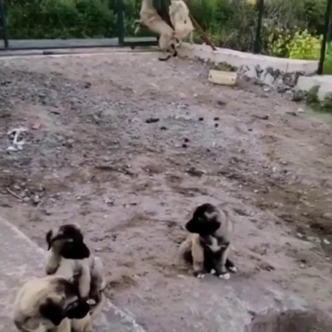 COBAN KOPEGi YAVRULARI ve GENCLER - ANATOLiAN SHEPHERD DOG PUPPiES and YOUNGS