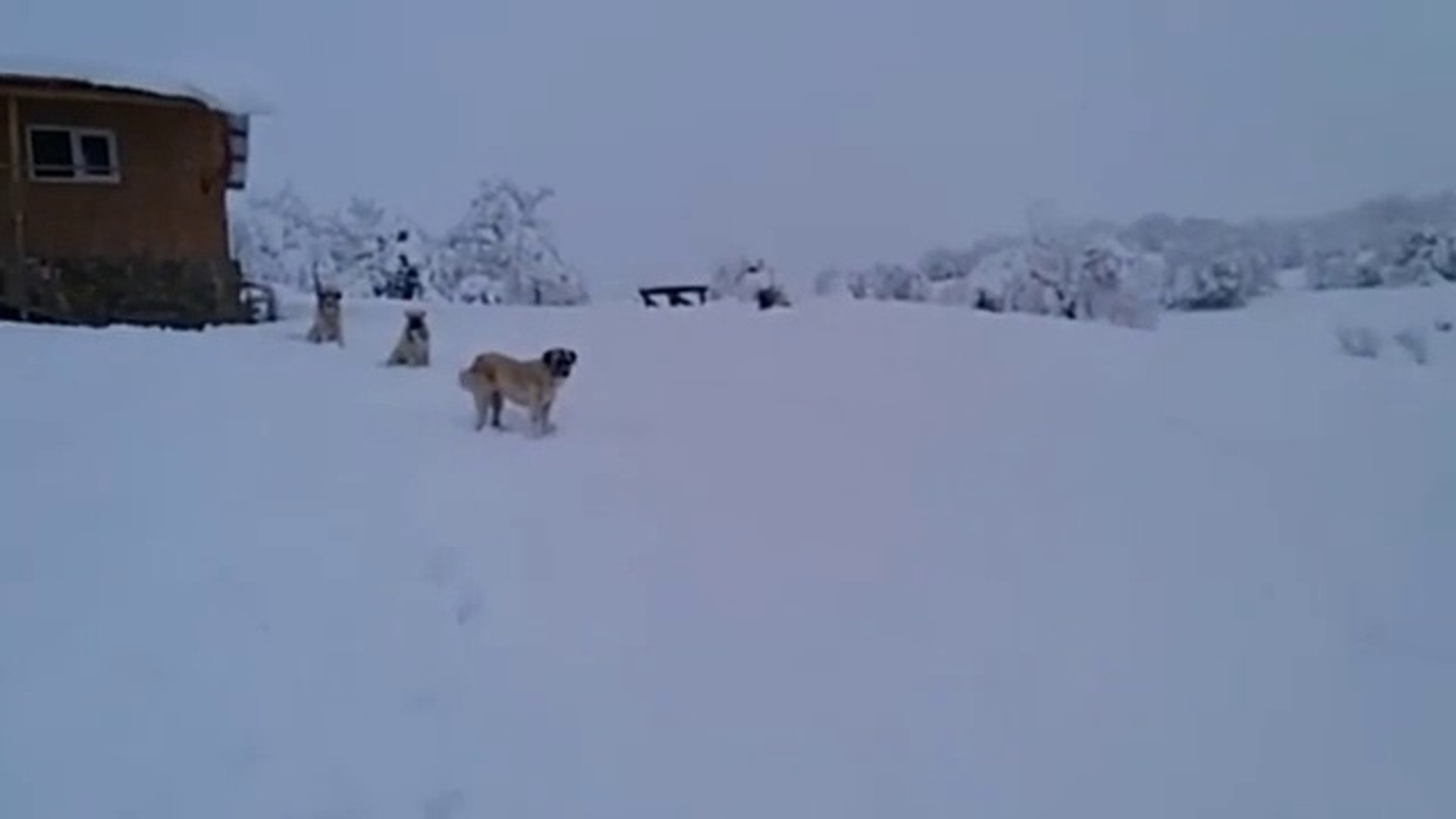COBAN KOPEKLERi ve KAR MANZARASI - ANATOLiAN SHEPHERD DOGS and ViEWS SNOW