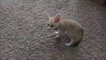 Ce bébé Fennec de compagnie est adorable... une vraie peluche