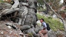 Le plus vieil arbre d'Europe découvert en Italie