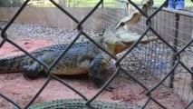 Un parc animalier dédié aux crocodiles... Impressionnant