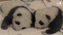 Deux bébés pandas jumeaux du zoo de Berlin se rencontrent pour la première fois