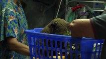 Australie: deux koalas sauvés d'un feu de brousse