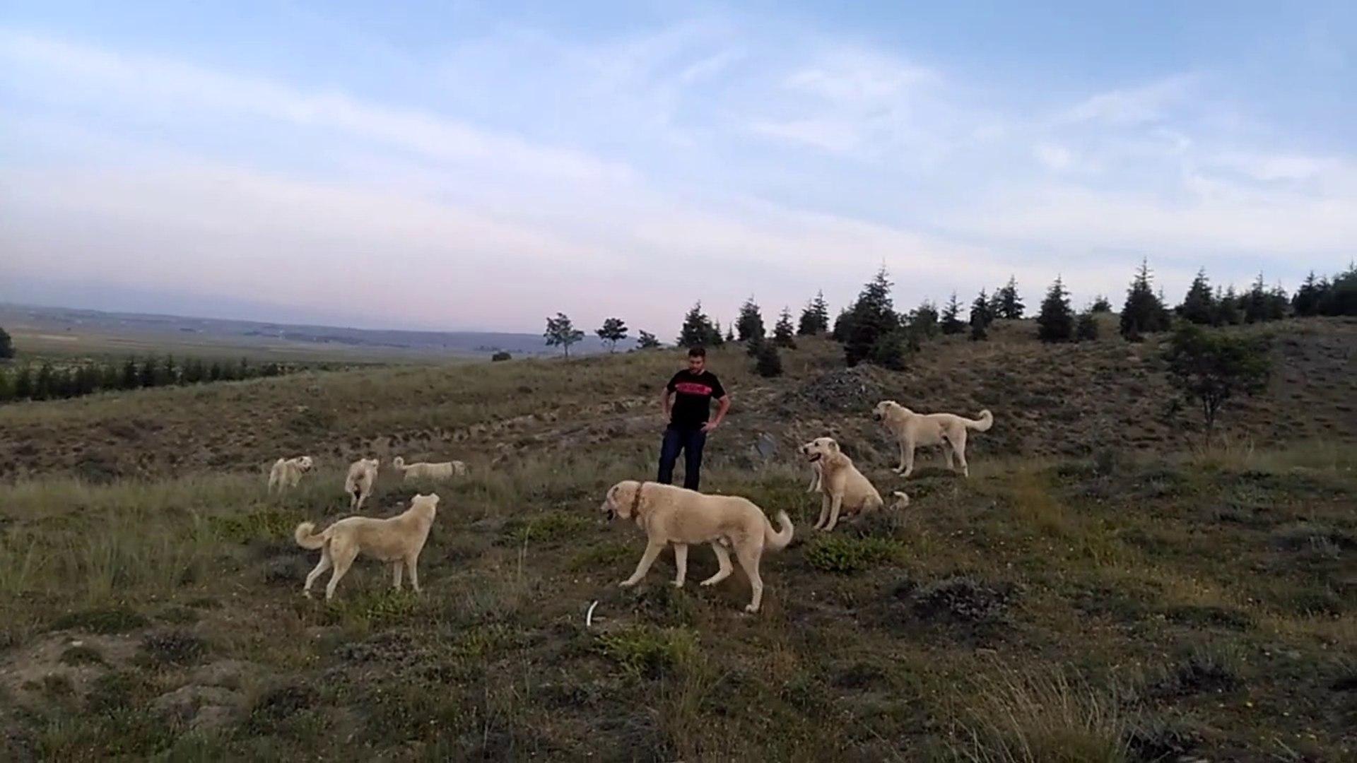 TURKiYENiN DUNYADAKi GURURU AKBAS COBAN KOPEKLERi - ANATOLiAN SHEPHERD AKBASH DOG