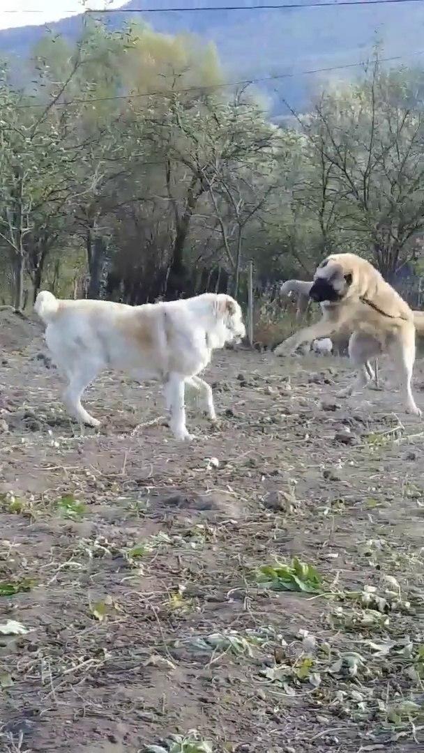 TURKMEN ALABAY COBAN KOPEKLERi KARSILASMASI - ALABAi SHEPHERD DOGS vs
