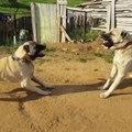 SiVAS KANGAL ve ANADOLU COBAN KOPEGi SERT ATISMALAR - KANGAL DOG and ANATOLiAN SHEPHERD DOG VS
