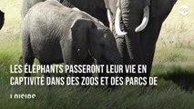 32 éléphanteaux brutalement séparés de leurs mères pour être vendus à des zoos chinois