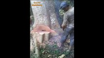 Amazing Dangerous Tree Felling With Chainsaw Equipment - Extreme Cutting Down Biggest Tree Machines