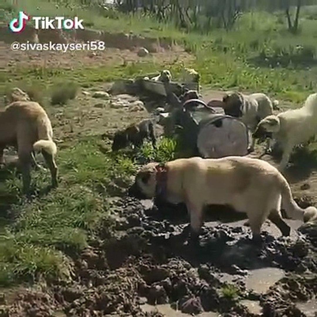 SiVAS KANGA KOPEKLERiNiN CAMUR BANYOSU KEYFi - KANGAL DOGS MUD BATHS