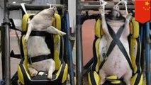 Peneliti China gunakan babi hidup untuk dummy tes kecelakaan - TomoNews