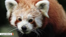 Fugitive Red Panda Captured After Drone Used To Find Escaped Creature