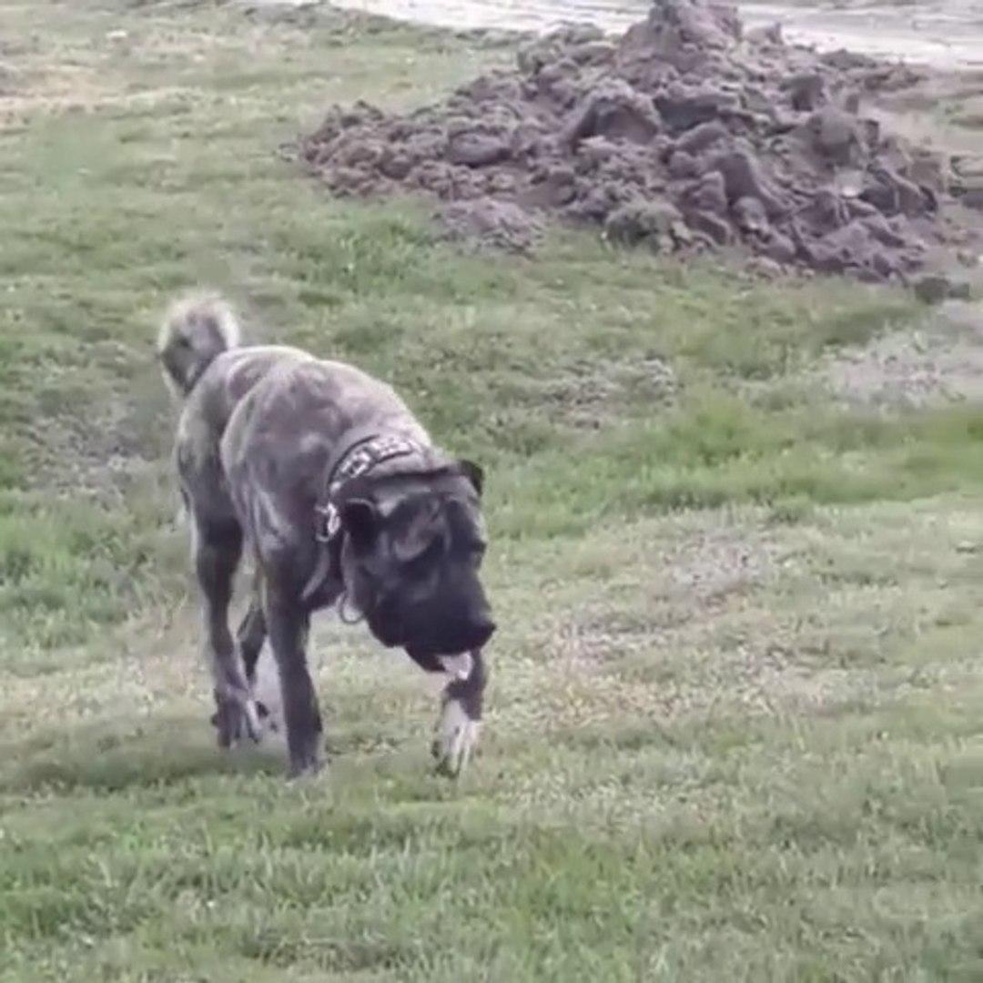 A KALiTE CAPAR ANADOLU COBAN KOPEGi - A QULiTY ANATOLiAN SHEPHERD CAPAR DOG